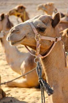 kamele1