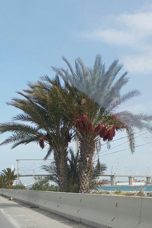 Palmen, die Standartbäume in Tunesien.