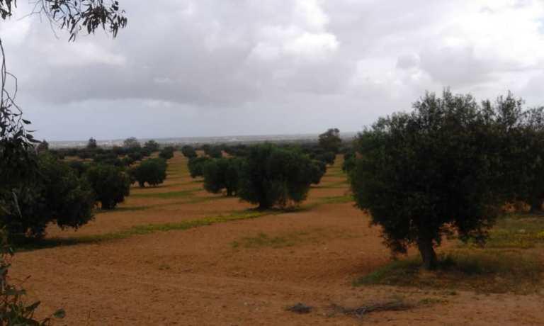 Libyen-außerhalb der Stadt. Städtische Olivenplantagen