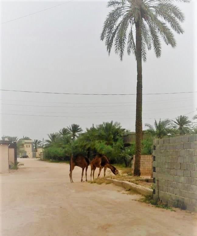 Kamele vor der Haustür