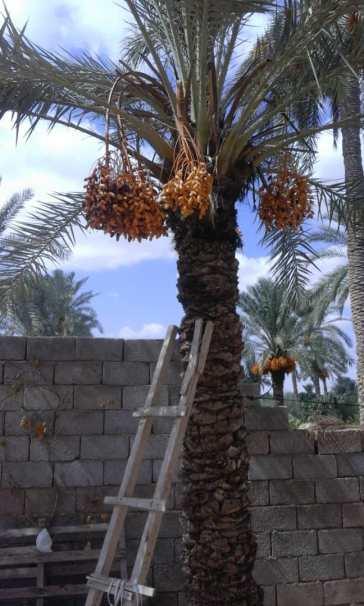 Libyen-Reife und noch unreife Datteln